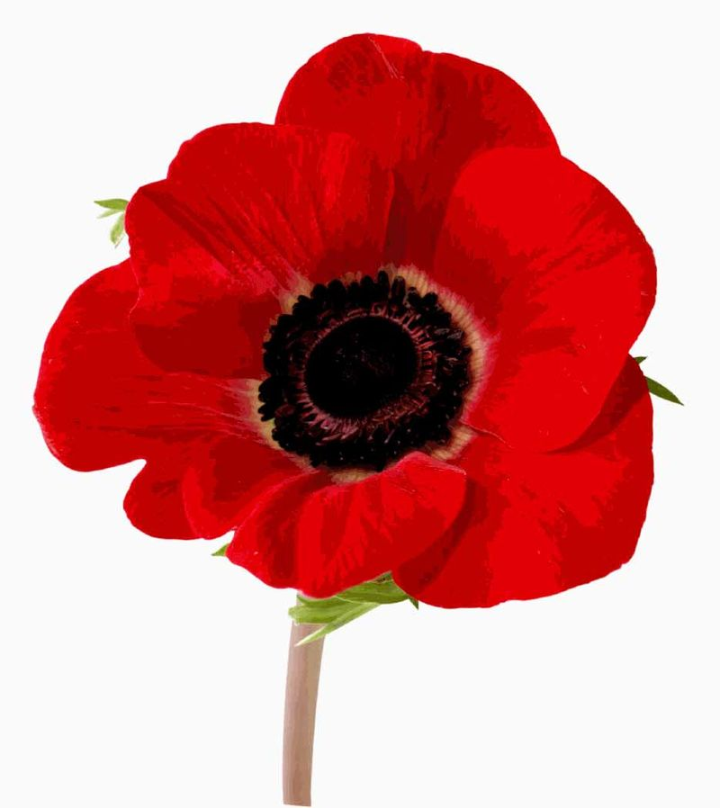 Rememberance%20day%20poppy